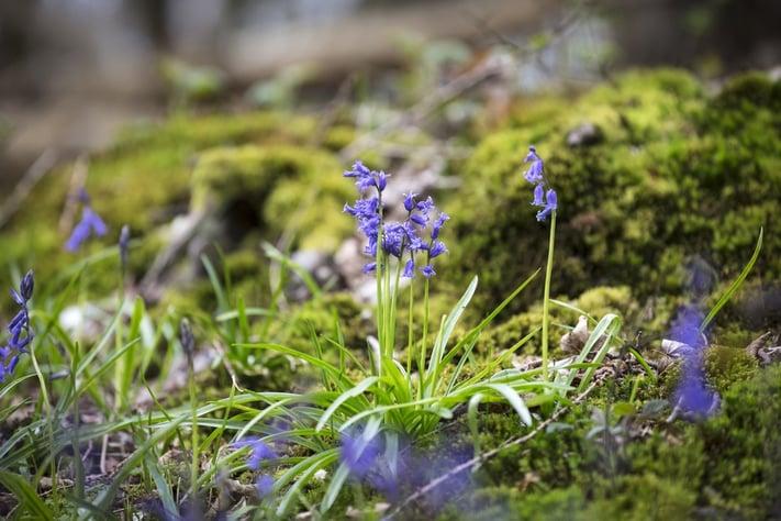 Blue bells flowering in Springtime on a forest floor.jpeg