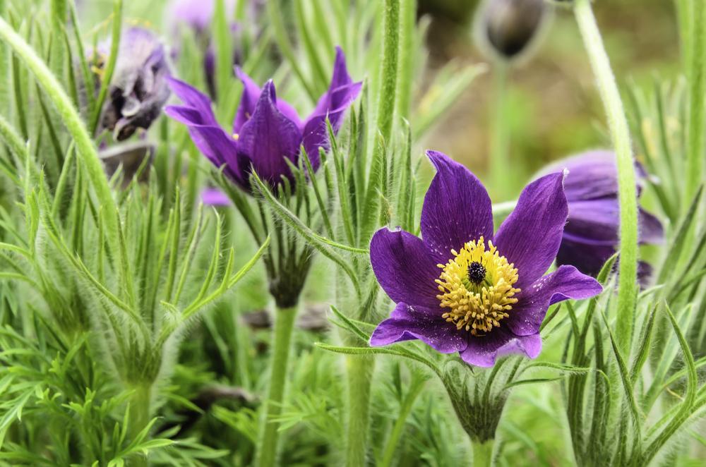Pasque flower (binomial name Pulsatilla vulgaris) in garden, spring in northern Illinois
